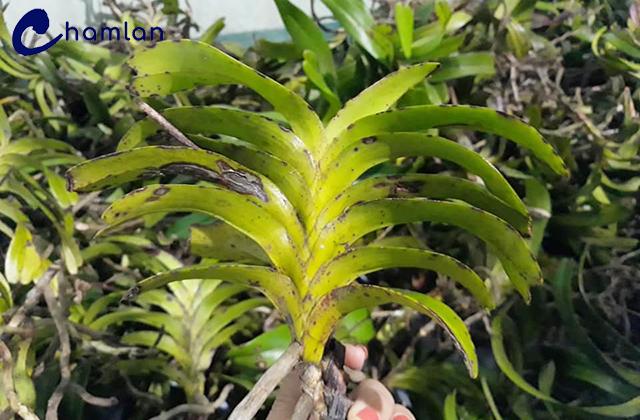 Quế trắng lá xếp cho thân lá đẹp, lá cứng, thích hợp cho cả trồng chậu và trồng gỗ